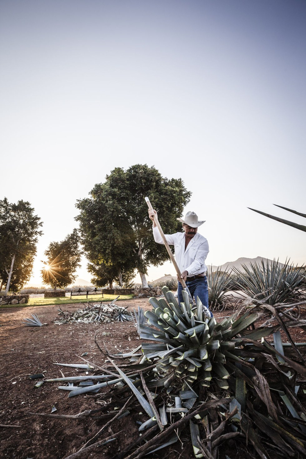 Jimador Ismael Gama uproots a blue agave to harvest the pi\u00f1a