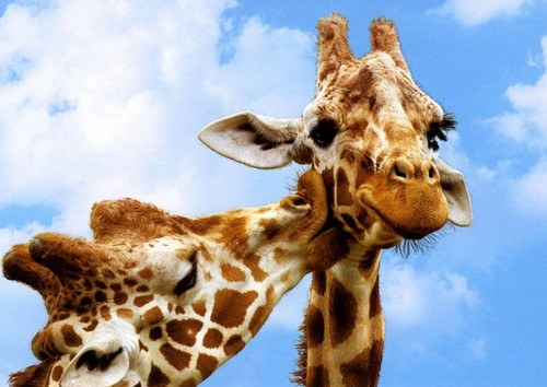 Two giraffes in headshot against a bright blue sky with fluffy white clouds.  One is nuzzling the neck of the other.
