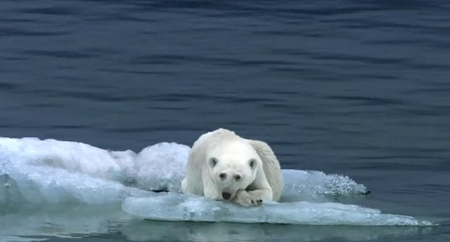 How the polar bear is affected