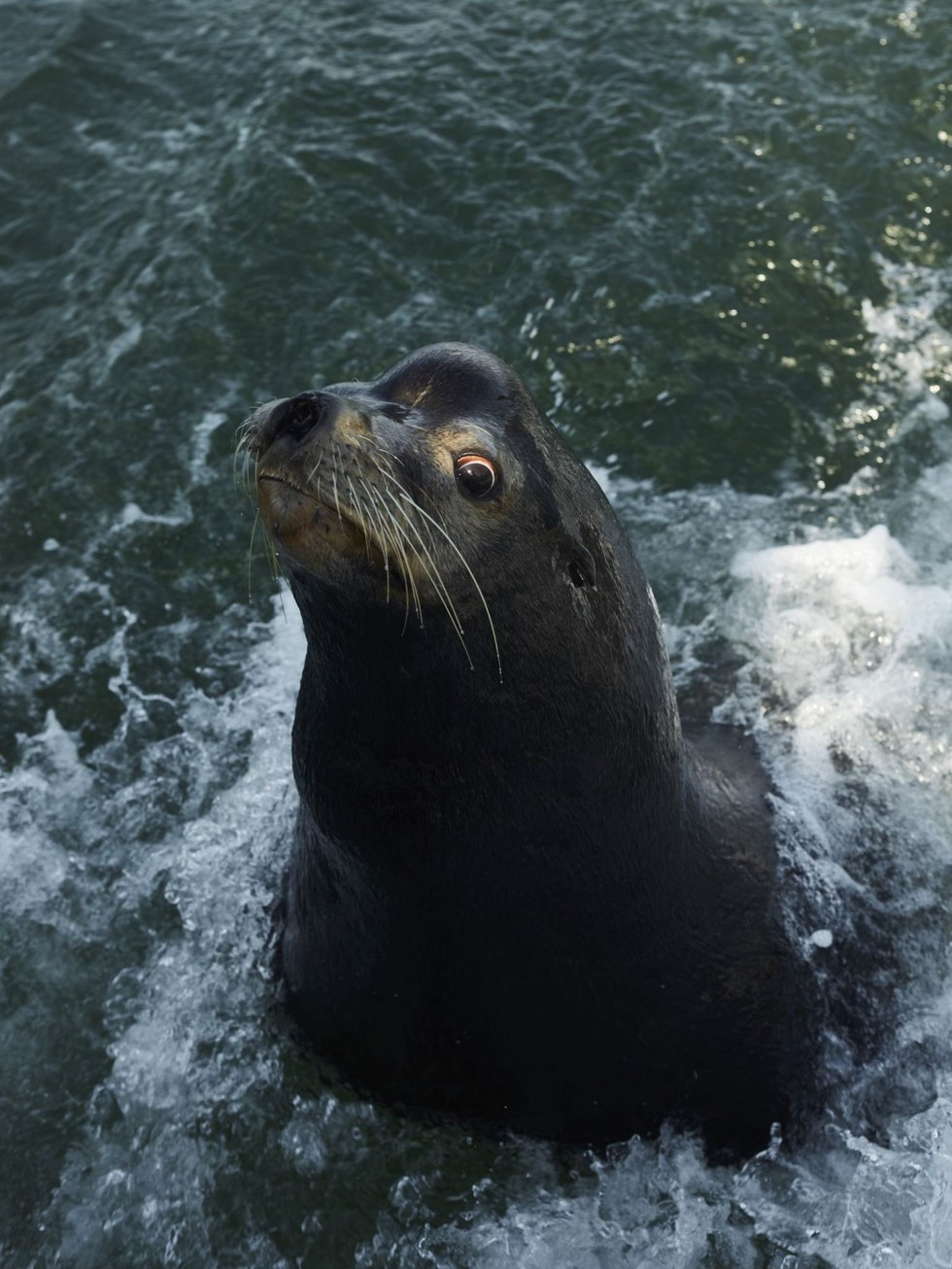 A sea lion hoping for fish from the day's catch