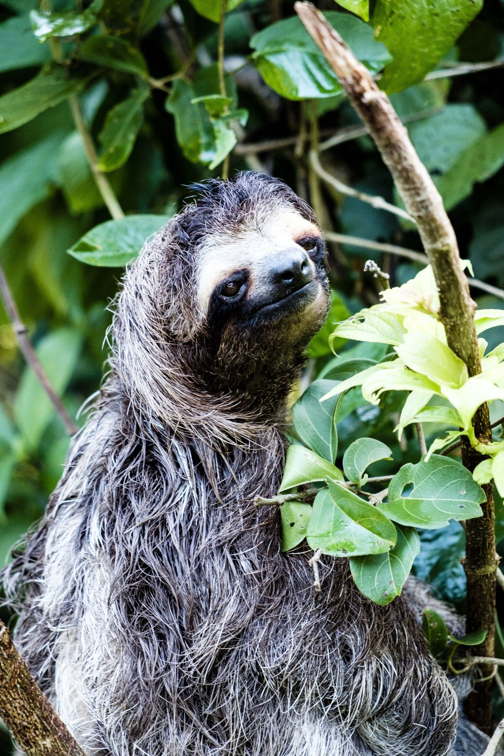 One of Parque Natural Metropolitano's slothful residents
