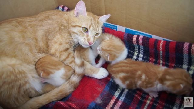 ginger cat mama and ginger kitten babies
