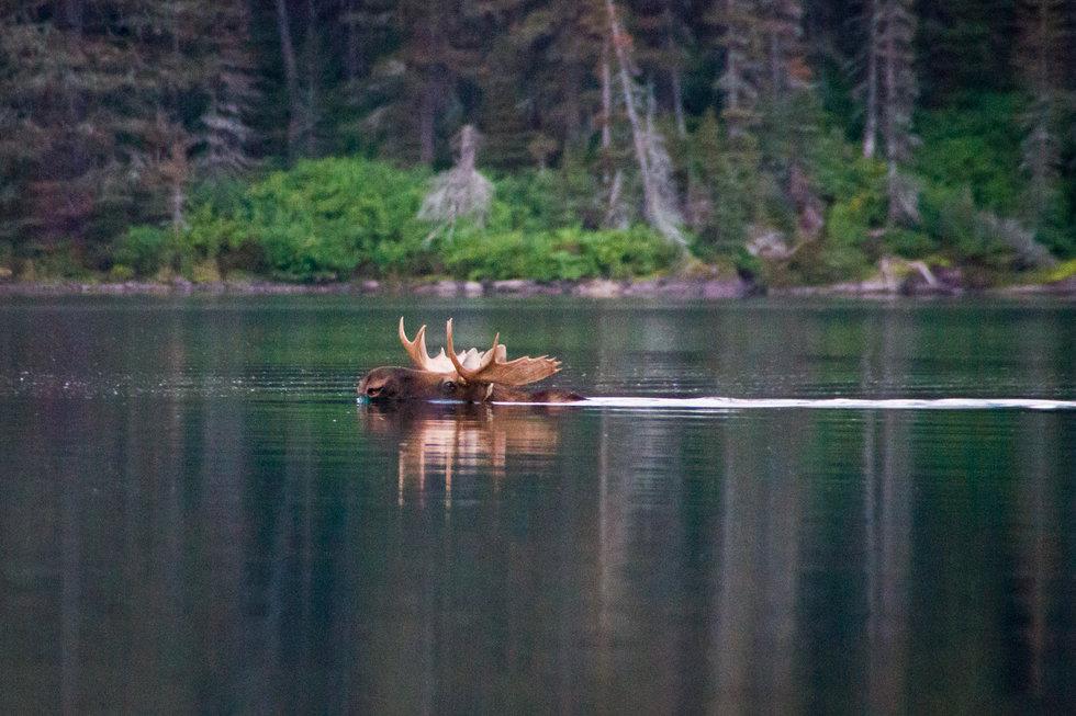 orcas eat deer
