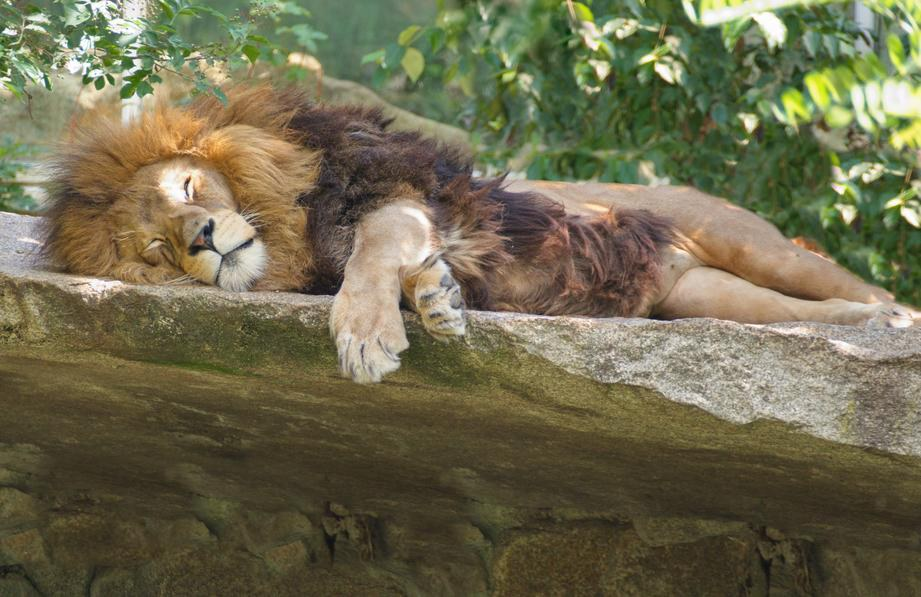 Lion resting at the Denver Zoo