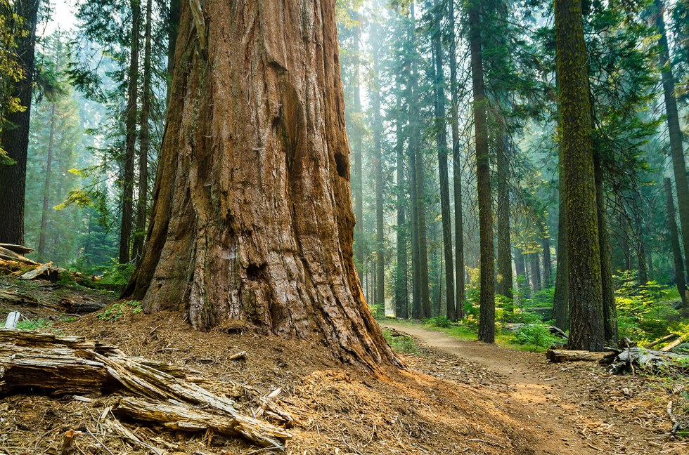 Large tree trunk in The Redwood Forest
