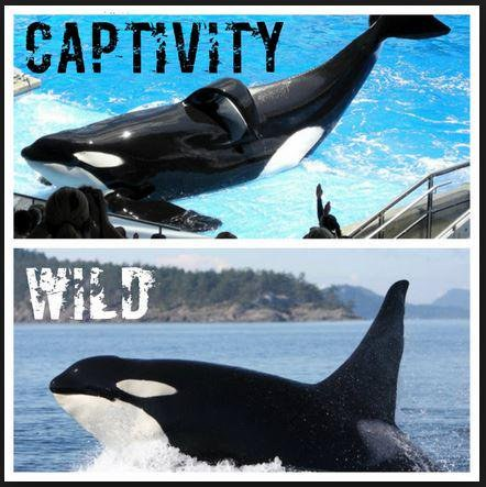 the negative effects of captivity to wild orcas