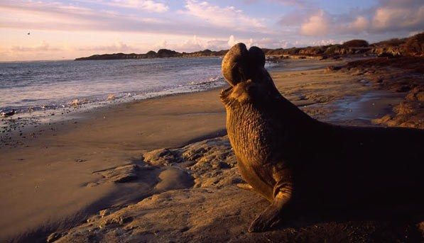 Seal on the beach in Santa Cruz
