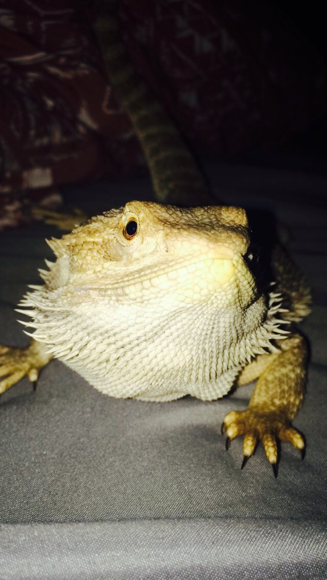 5 Reasons Why A Bearded Dragon Is A Perfect Pet