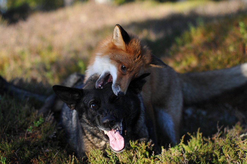 Fox And Hound Are Real-Life Best Friends
