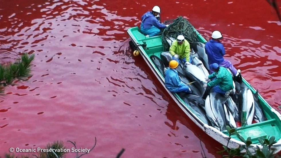 taiji dolphin hunt From dawn to death, the story of the fate of dolphins passing by japan this is  taiji, dolphins are caught, driven to a cove and either killed or.