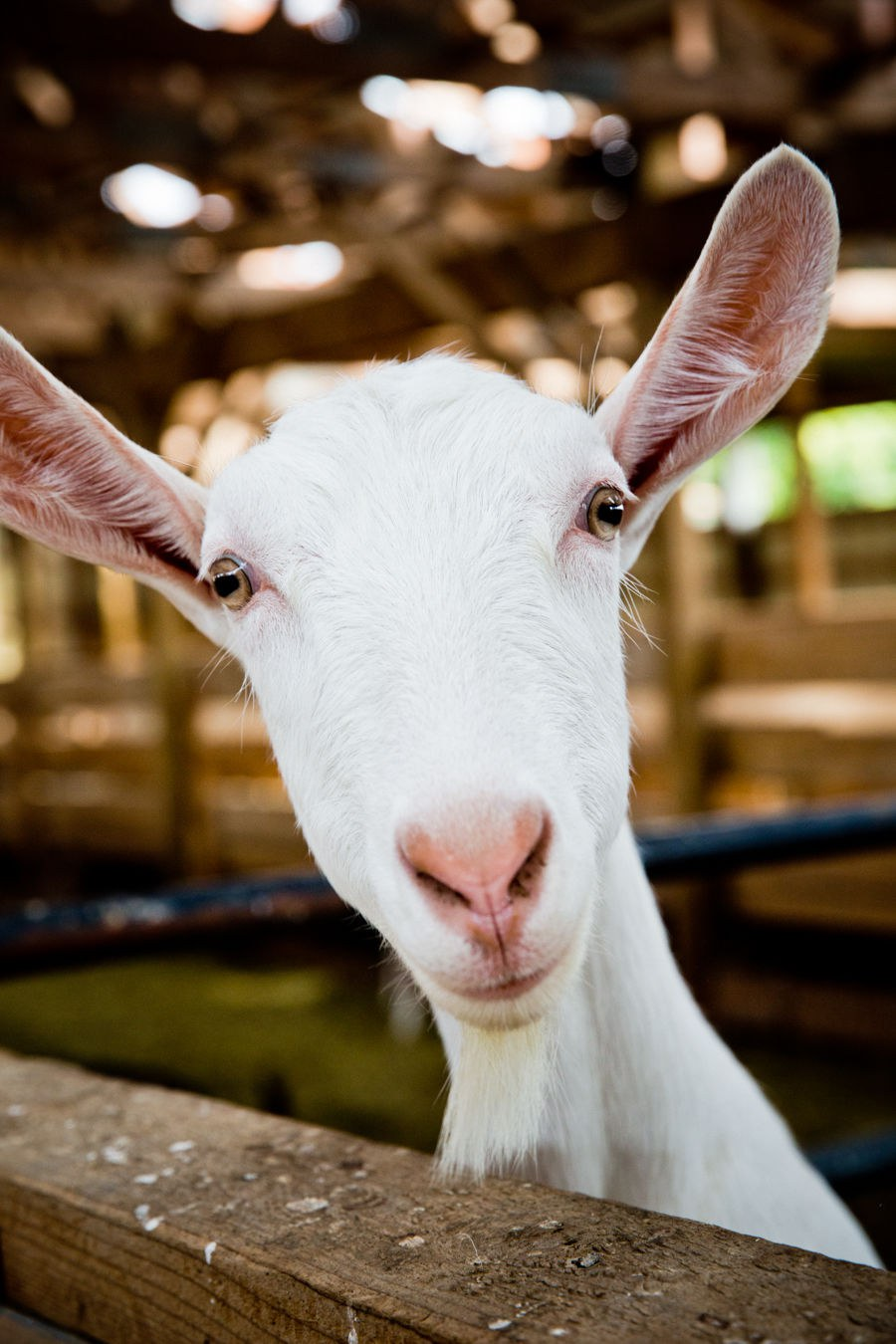 The animal responsible for the goat cheese at Lively Run
