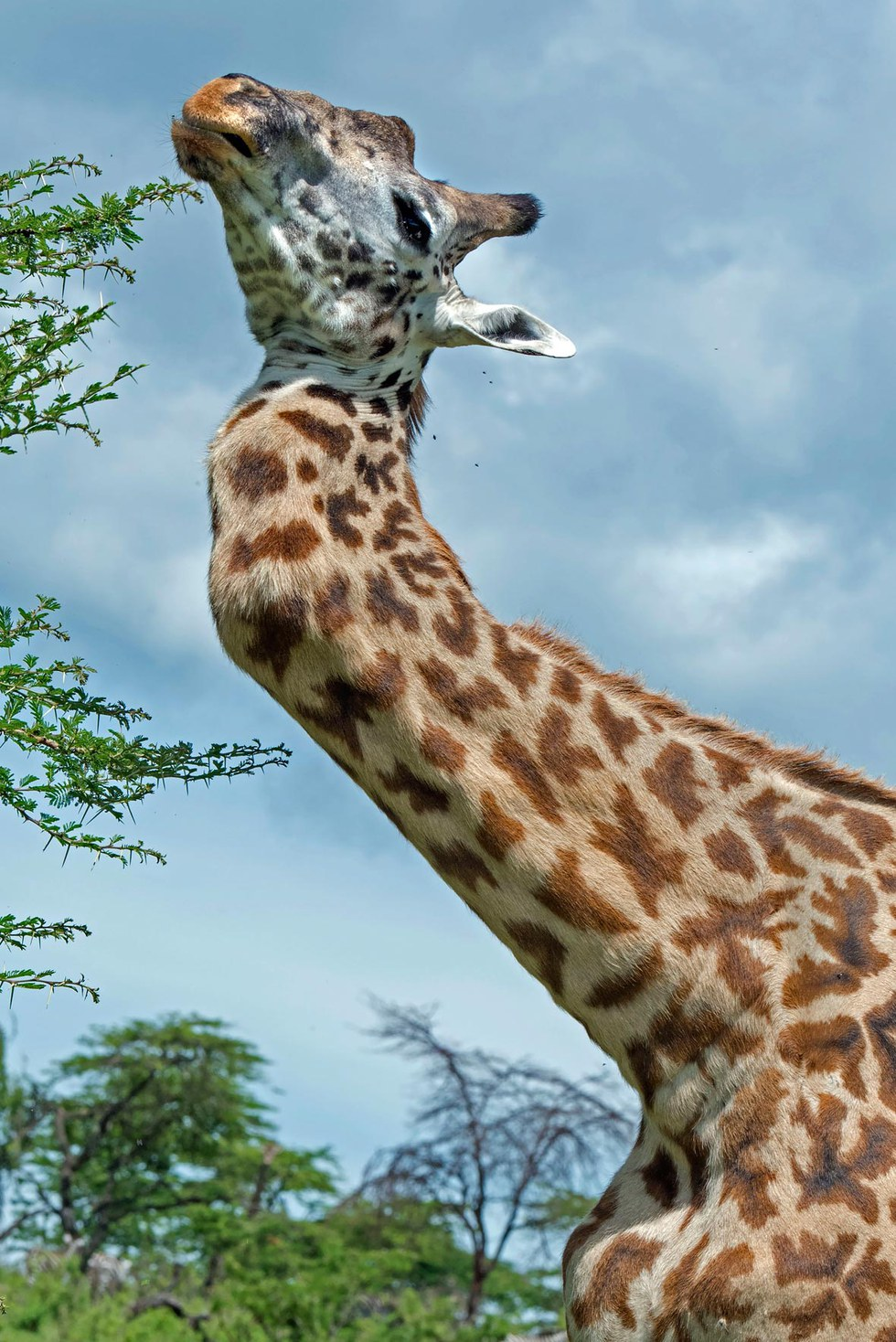 10 reasons i love giraffes