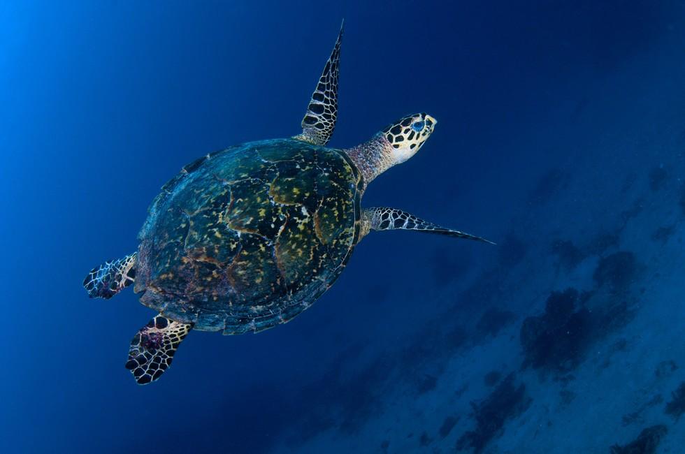 Sea turtle underwater near Pamalican Island