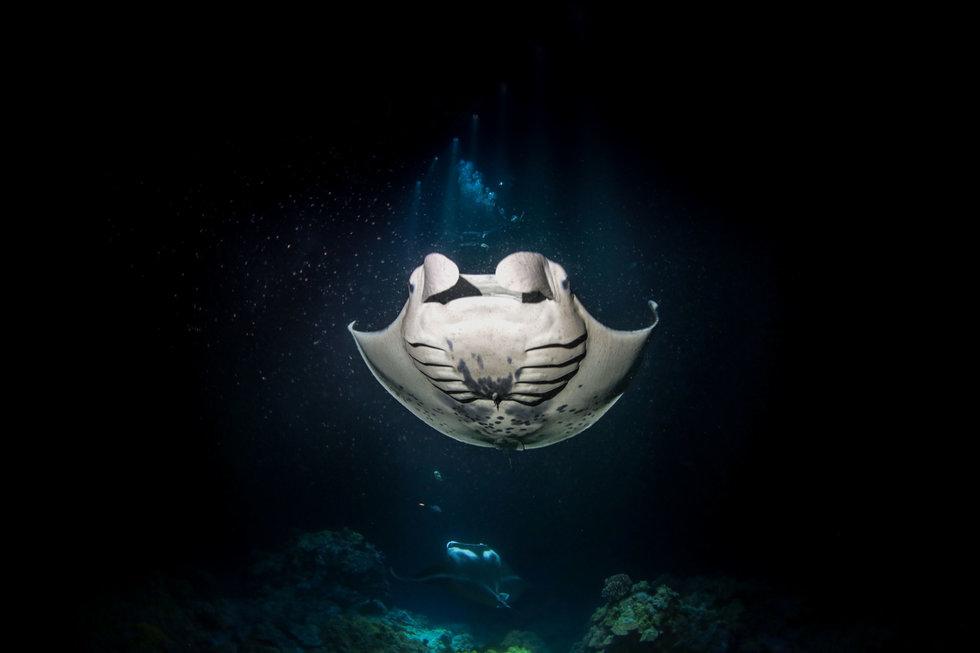 A manta ray in the dark water off the Kona-Kohala coast