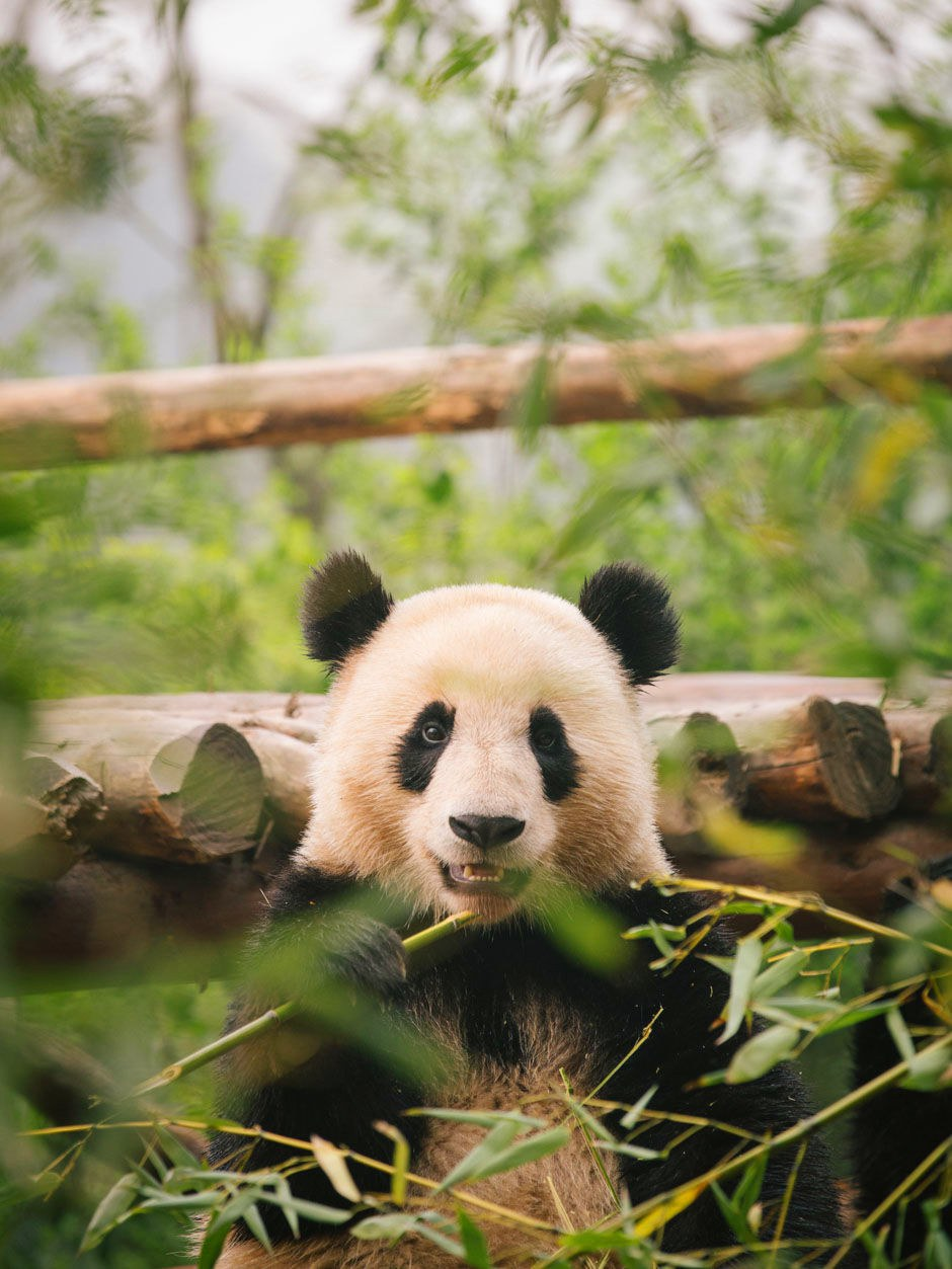 A panda at the Research Base of Giant Panda Breeding