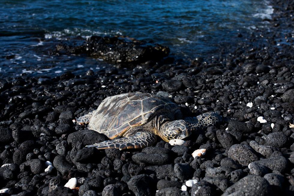 A green sea turtle crawls onto shore