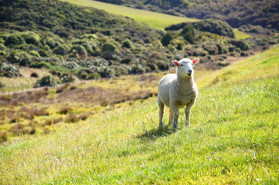 A sheep in a field of grass in the countryside