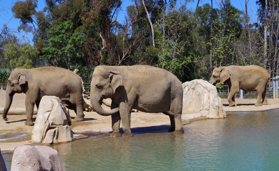 Elephants in the San Diego Zoo